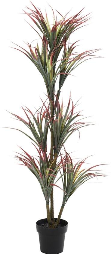Bolcom Yucca Plant