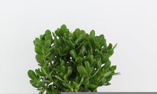 Crassula Ovata (pot 23 cm)