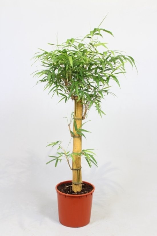 Bamboe Plant Binnen.Bol Com Kamerplant Bamboe Bambusa Vulgaris Op Stam