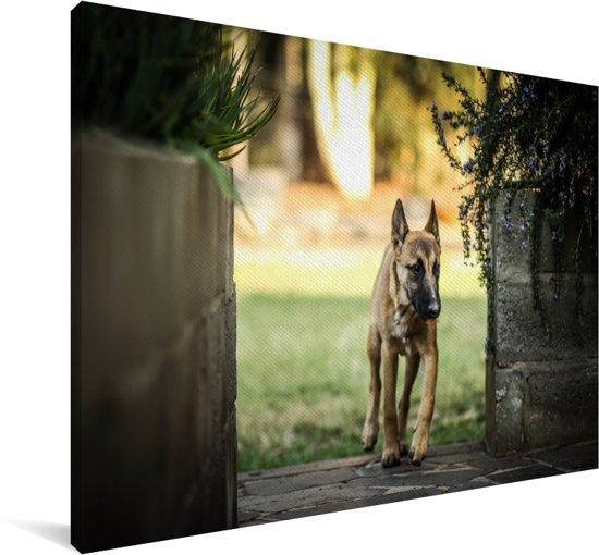 Een Mechelse herder tussen de plantenbakken Canvas 90x60 cm - Foto print op Canvas schilderij (Wanddecoratie woonkamer / slaapkamer) / Huisdieren Canvas Schilderijen