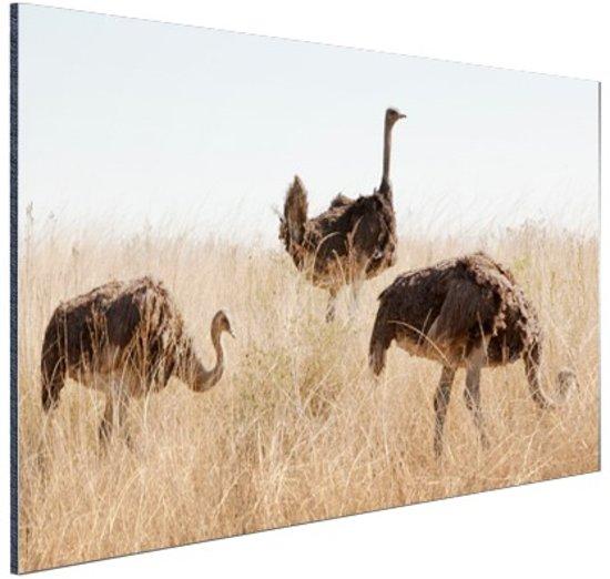 Struisvogels op een grasveld Aluminium 90x60 cm - Foto print op Aluminium (metaal wanddecoratie)