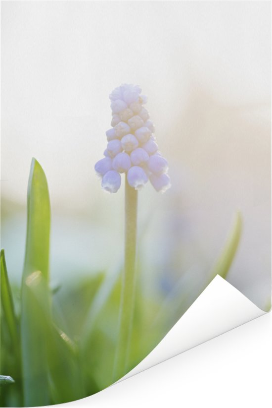 Enkele blauwe bloem van een druifhyacint Poster 20x30 cm - klein - Foto print op Poster (wanddecoratie woonkamer / slaapkamer)