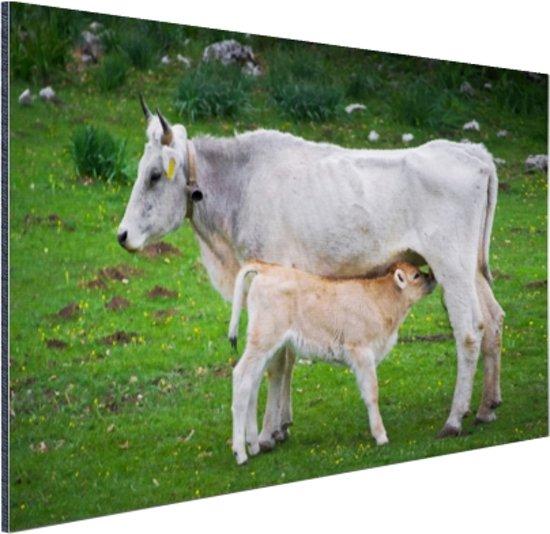 Kalf drinkt van moeder Aluminium 90x60 cm - Foto print op Aluminium (metaal wanddecoratie)