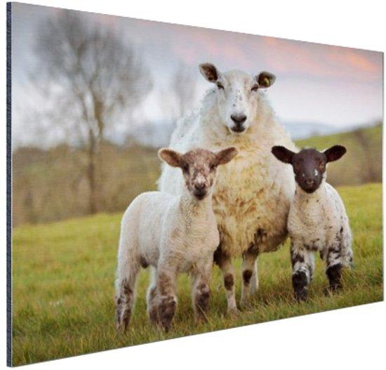 Moeder met lammeren Aluminium 60x40 cm - Foto print op Aluminium (metaal wanddecoratie)