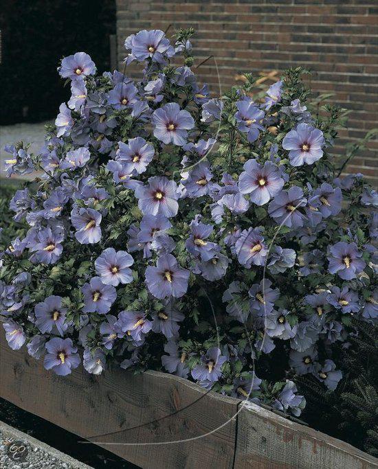 Bolcom Hibiscus Hardy Bluebird