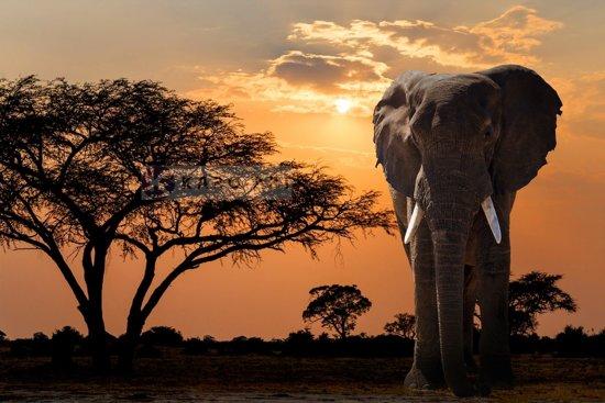Afbeelding op acrylglas - Olifant bij zonsondergang