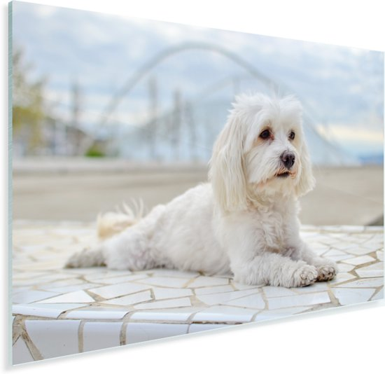 Kalme Maltezer ligt te ontspannen Plexiglas 60x40 cm - Foto print op Glas (Plexiglas wanddecoratie)