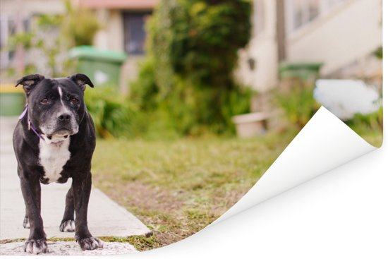 Een Staffordshire Bull Terrier loopt over de stoep Poster 90x60 cm - Foto print op Poster (wanddecoratie woonkamer / slaapkamer) / Huisdieren Poster