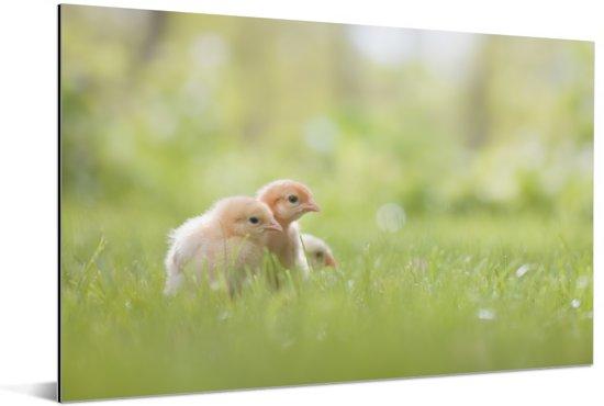 Drie baby kuikentjes in het gras Aluminium 180x120 cm - Foto print op Aluminium (metaal wanddecoratie) XXL / Groot formaat!
