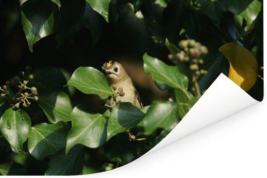 Een verstopt goudhaantje tussen de groene klimop bladeren Poster 90x60 cm - Foto print op Poster (wanddecoratie woonkamer / slaapkamer)