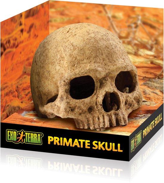 Primate Skull