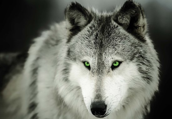 Fotobehang Wolf Animal | XXL - 312cm x 219cm | 130g/m2 Vlies
