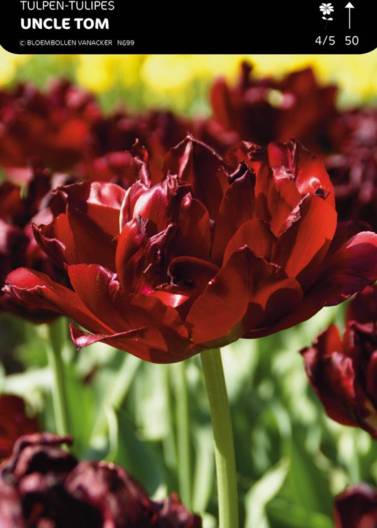 50 x Tulp Uncle Tom