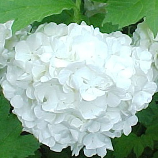 Viburnum Opulus 'Roseum' - Gelderse roos 40-60 cm pot
