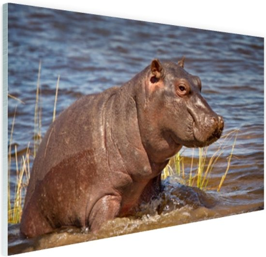 Baby nijlpaard Glas 30x20 cm - Foto print op Glas (Plexiglas wanddecoratie)