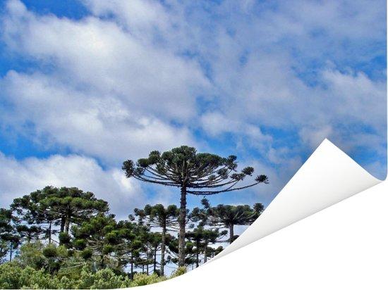 Blauwe lucht met wolken boven de groene parana pine bomen Poster 40x30 cm - klein - Foto print op Poster (wanddecoratie woonkamer / slaapkamer)