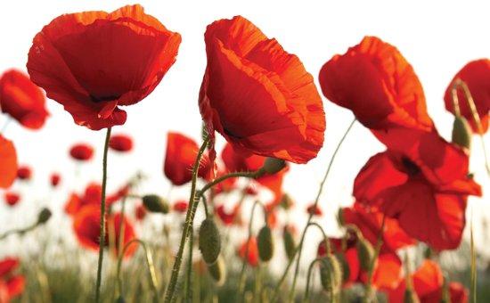 Fotobehang Flowers Poppies Field Nature | XXXL - 416cm x 254cm | 130g/m2 Vlies