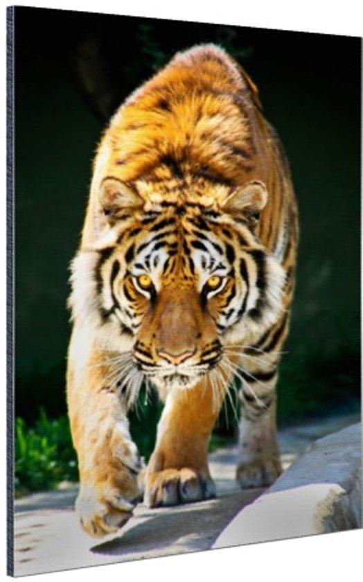 Sluipende tijger Aluminium 60x90 cm - Foto print op Aluminium (metaal wanddecoratie)