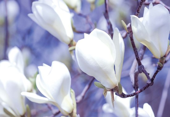 Fotobehang Flowers Magnolia Nature | XXL - 312cm x 219cm | 130g/m2 Vlies