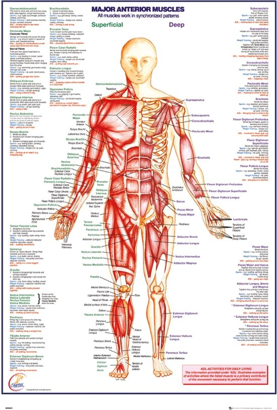 Menselijk lichaam-anatomie-Spierstelsel-Poster-61x91.5cm.