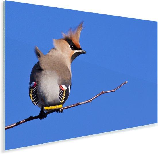 Pestvogel tegen een knalblauwe achtergrond Plexiglas 60x40 cm - Foto print op Glas (Plexiglas wanddecoratie)