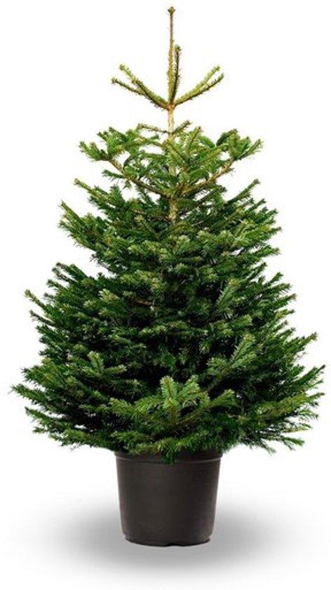 Kerstboom In Pot.Koopjetuinspul Nordmann Kerstboom Ca 150 Tot 175 Cm Echte Kerstboom In Pot