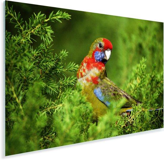 Kleurrijke prachtrosella valt op in de groene natuur Plexiglas 60x40 cm - Foto print op Glas (Plexiglas wanddecoratie)