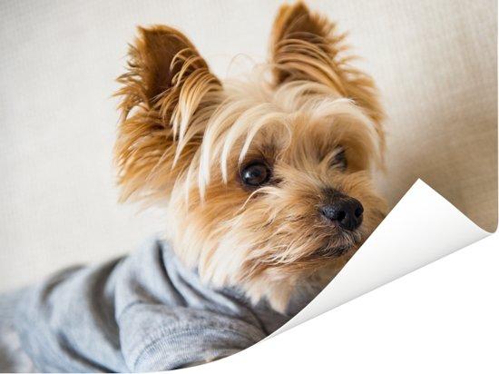 Yorkshire Terrier met een truitje aan Poster 80x60 cm - Foto print op Poster (wanddecoratie woonkamer / slaapkamer) / Huisdieren Poster