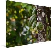 Cacaobonen omringd door de groene peulenschil aan de boom Canvas 120x80 cm - Foto print op Canvas schilderij (Wanddecoratie woonkamer / slaapkamer)