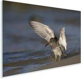 Paarse strandloper met gestrekte vleugels Plexiglas 90x60 cm - Foto print op Glas (Plexiglas wanddecoratie)