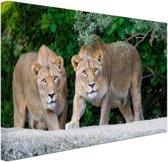 Twee leeuwinnen Canvas 30x20 cm - klein - Foto print op Canvas schilderij (Wanddecoratie woonkamer / slaapkamer) / Dieren Canvas Schilderijen