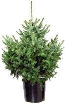 Echte kerstboom Picea Omorika in Pot 80cm