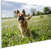 Duitse Herder tussen de bloemetjes Plexiglas 160x120 cm - Foto print op Glas (Plexiglas wanddecoratie) XXL / Groot formaat!