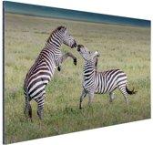 Spelende zebras Aluminium 120x80 cm - Foto print op Aluminium (metaal wanddecoratie)
