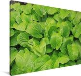 Groene hartlelie bladeren Canvas 120x80 cm - Foto print op Canvas schilderij (Wanddecoratie woonkamer / slaapkamer)