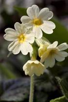 Cowslip Spring Flower Journal