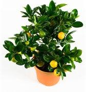 kamer sinaasappel - Mandarijn - Calamondine  - Hoogte 35cm