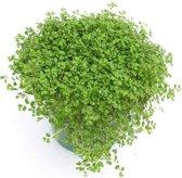 SlaapKamerGeluk Plant Met Sier Overpot - Soleirolia - Leuk voor in Huis of Kantoor
