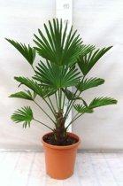 Trachycarpus wagnerianus 15-25cm stam; Totale hoogte  90-110 cm incl. ø26cm pot. Winterharde palm tot -17ºC ( Kruising )