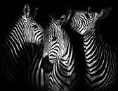 Zebra's Fotobehang XXL - 368 x 254 cm - Zwart/Wit