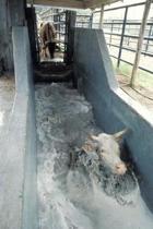 Farm Journal Cattle Bath