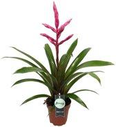 Breasy® - Bromelia Guzmania Claire Roze - Kokerbromelia - Kamerplant in kwekers Pot ø12 cm - Hoogte Bromelia ↕ 50 cm