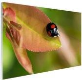 FotoCadeau.nl - Zwart rood lieveheersbeestje Glas 60x40 cm - Foto print op Glas (Plexiglas wanddecoratie)