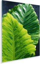 Een donkere en lichte bladen van de alocasia Plexiglas 120x180 cm - Foto print op Glas (Plexiglas wanddecoratie) XXL / Groot formaat!