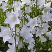 6 x Campanula Persicifolia 'Alba ' - Breedbladig Klokje pot 9x9cm