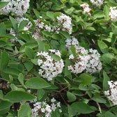 Viburnum farreri - Sneeuwbal 60-80 cm in pot