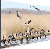 Groep ganzen in het water Aluminium 90x60 cm - Foto print op Aluminium (metaal wanddecoratie)