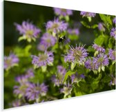 Een wilde bergamot Plexiglas 30x20 cm - klein - Foto print op Glas (Plexiglas wanddecoratie)