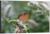 Dibond – Oranje Vlinder– 90x60 Foto op Aluminium (Wanddecoratie van metaal)