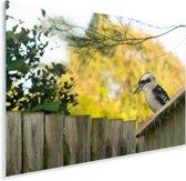 Australische kookaburra zittend op tuinhuisje Plexiglas 180x120 cm - Foto print op Glas (Plexiglas wanddecoratie) XXL / Groot formaat!
